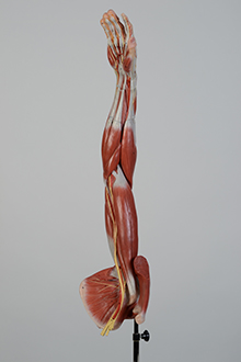 arm and shoulder muscle model