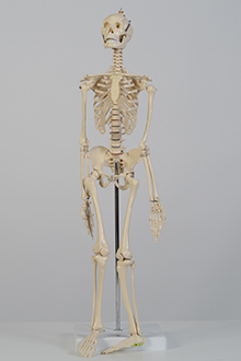 Small skeleton model
