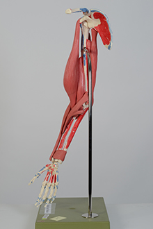 Find Anatomical Models